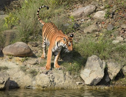 Tiger in Jim Corbett National Park