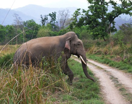 Elephant in Jim Corbett National Park
