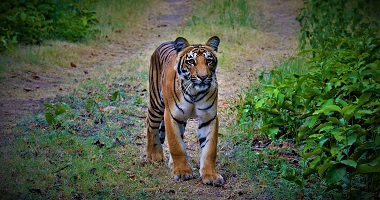 Tiger Safari Tour Package