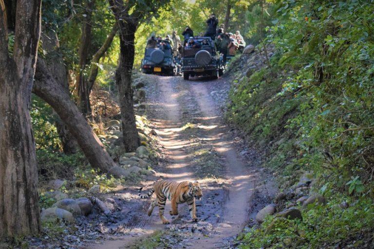 Corbett Safari Tiger Sighting