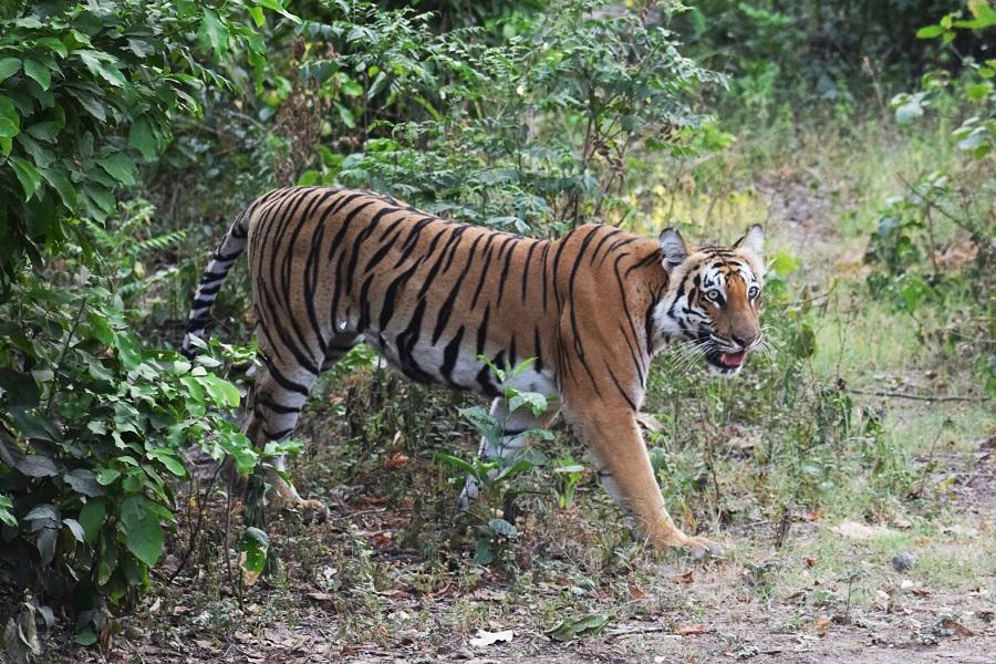 Corbett Grassland Tiger