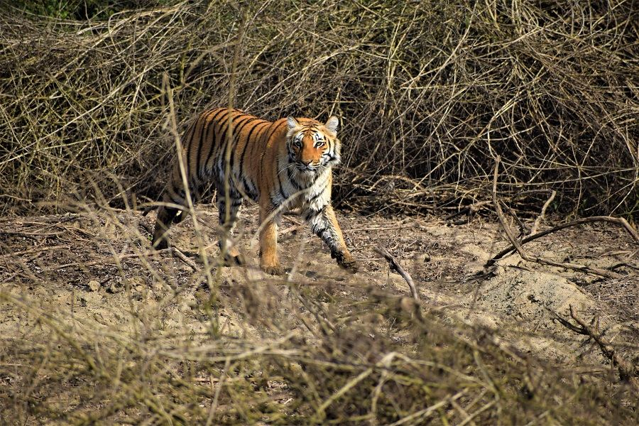 Dhikala Tiger