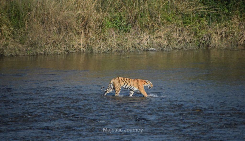 Jim Corbett Park River Tiger Safari
